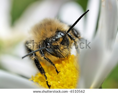 Closeup into the face of a honeybee on a flower - stock photo