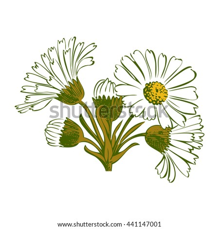 Closeup isolated blooming green floral white spring eco flower organic leaf line yellow botanical curve symbol botanic summer pen drawing paint daisy chamomile ink illustration flora stem object decor - stock photo