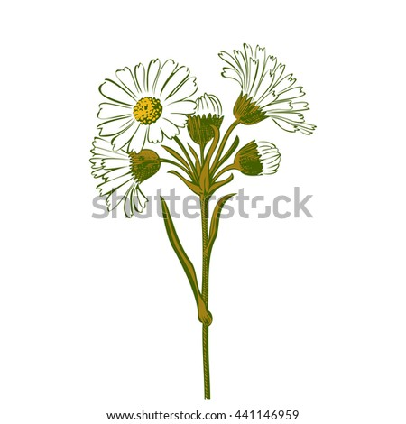 Closeup isolated blooming green floral white spring eco flower organic line leaf botanical curve symbol botanic summer pen drawing paint white vertical daisy chamomile ink illustration flora stem - stock photo