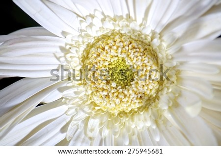 closeup, isolated, wallpaper, decoration, nobody, natural, green, floral, chrysanthemum, white, spring, petal, red, aroma, flower, concept, leaf, yellow, head, orange, summer, blossom, bloom, daisy - stock photo