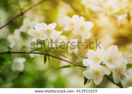 closeup jasmine flowers in sunny day, toned photo - stock photo
