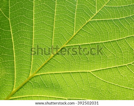 closeup leaf texture ( Bastard Teak, Bengal Kino, Kino Tree, Flame of the Forest ) - stock photo