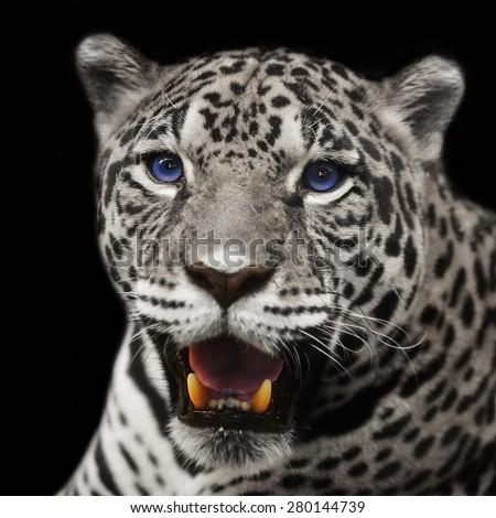 Closeup leopard  jaguar staring at the camera. - stock photo