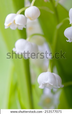 closeup lily of the valley with morning dew, natural spring background