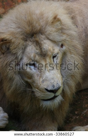 Closeup lion