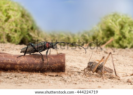 closeup Longhorn beetle (Aromia moschata) is sitting on a twig and grasshopper on the sandy soil of semideserts on sky background - stock photo