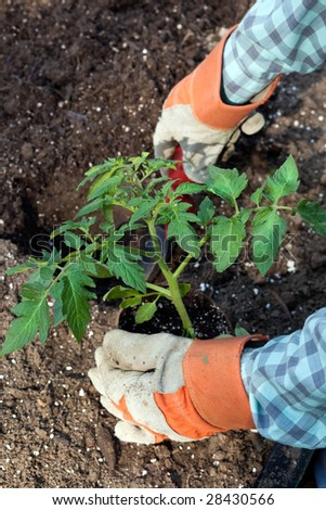 Closeup looking down into the garden with hands planting large tomato plant. Selective focus, copy space. - stock photo