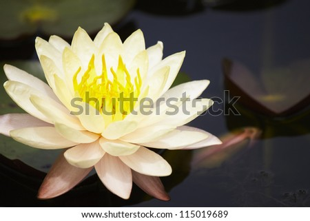 closeup lotus