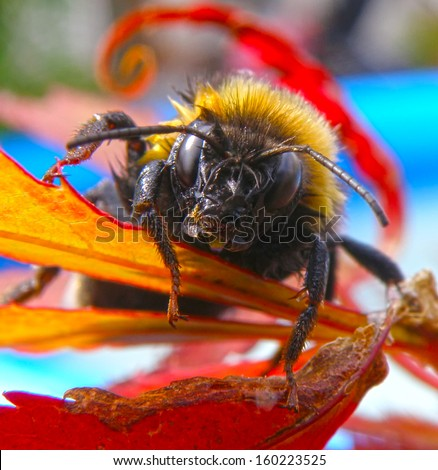 Closeup macro detail of bee on leaf in summer time. Insect warrior. - stock photo