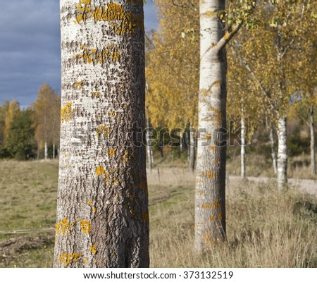 Closeup, macro on trunks of aspen trees. Aspen and birches in the background. Autumn, fall. - stock photo