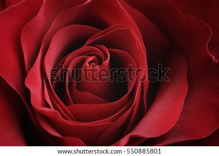 closeup macro shot of beautiful red rose, valentines day theme
