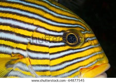 Closeup macro shot of Oriental Sweet lips, Plectorhinchus vittatus, fish in Indonesia! - stock photo