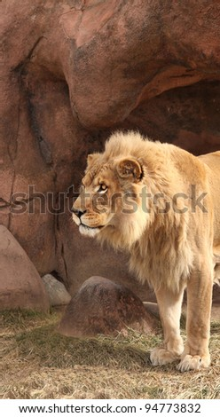 Closeup Male Lion Portrait  Felidae Panthera leo - stock photo