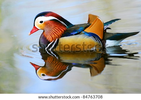 Closeup male mandarin duck (Aix galericulata) swimming, viewed of profile, with a large reflection in the water - stock photo