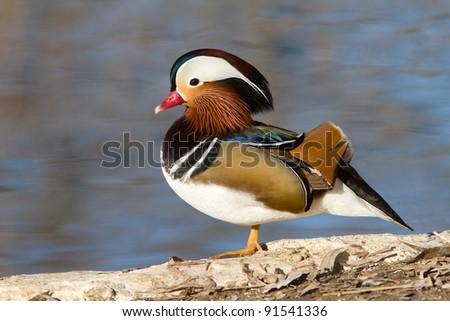 Closeup male mandarin duck on the ground  (Aix galericulata) - stock photo