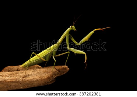 closeup mantis on the branch on black background. concept of pointing - stock photo