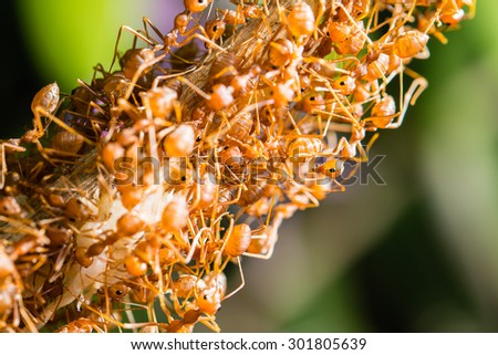 Closeup many red ant moving on tree branch - stock photo