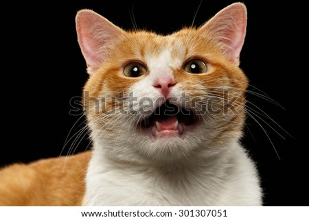 Closeup Meowing Ginger Cat on Black background  - stock photo