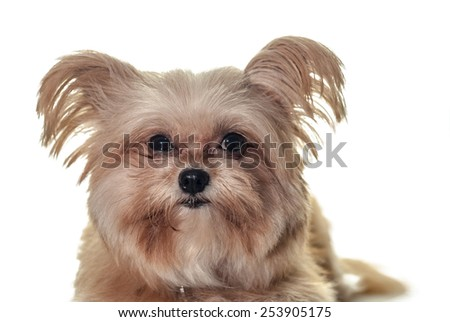 closeup mixed breed dog face isolated in white background with clipping path - stock photo