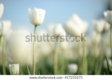Closeup nature view of white tulips in garden at middle of spring under sunlight. Natural sunny flower plants landscape and blue sky as a background. Beautiful nature.  - stock photo