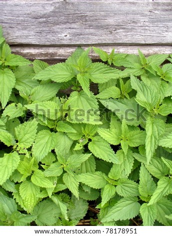 closeup nettle - stock photo