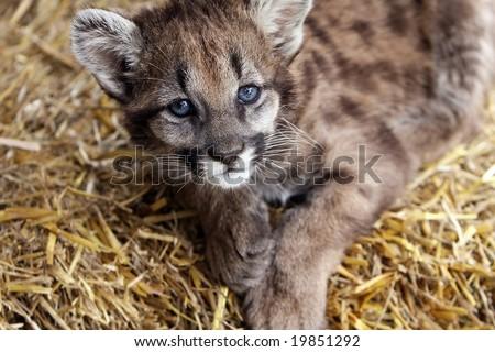 Closeup of a baby Cougar laying down and staring at the camera. - stock photo
