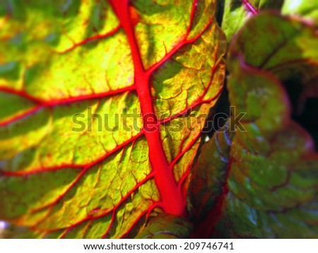 closeup of a backlit mangold leaf  - stock photo