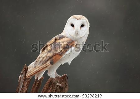 Closeup of a Barn Owl perching in the rain. - stock photo