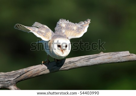 Closeup of a Barn Owl taking off from a natural perch. - stock photo