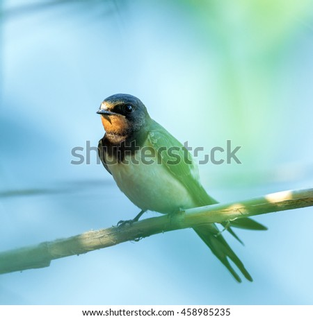 Closeup of a barn swallow perched on a twig - stock photo