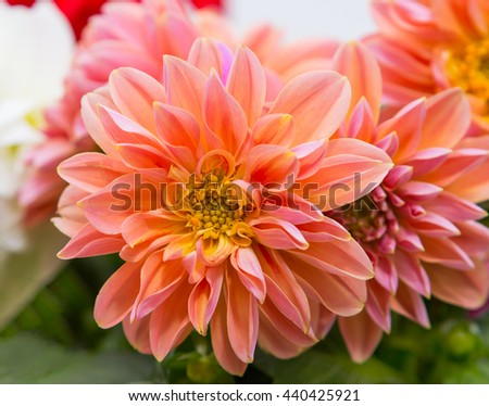 Closeup of a beautiful and perfect orange Dahlia blossom. - stock photo