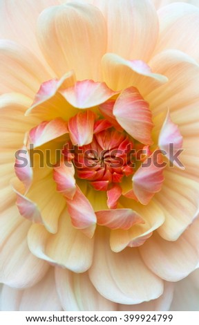 Closeup of a beautiful dahlia flower in peach apricot orange pastel tones - stock photo