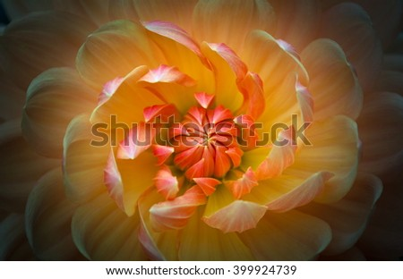 Closeup of a beautiful dahlia flower in yellow orange tones on dark background - stock photo