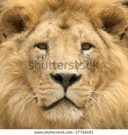Closeup of a beautiful lion's lofty face looking straight into the camera