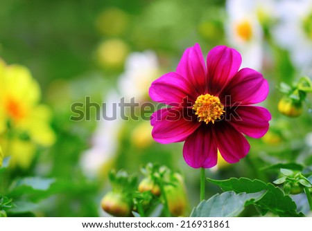Closeup of a beautiful purple dahlia over natural background - stock photo