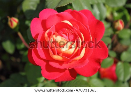 Closeup of a beautiful red rose