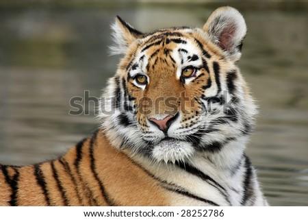 Closeup of a beautiful Siberian Tiger Cub. - stock photo