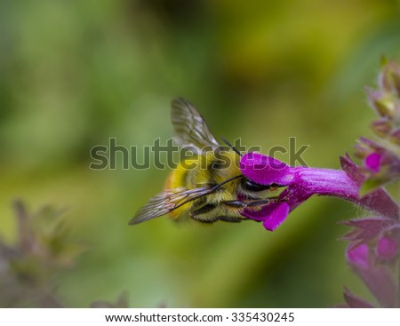 Closeup of a bee feeding on a blossom - stock photo