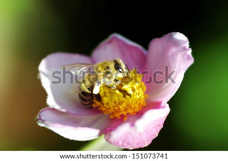 Closeup of a bee on a flower in summer - stock photo