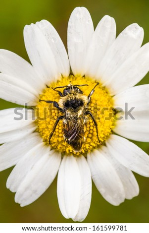 Closeup of a Bee Perfectly Centered on a Daisy Flower with water drop. Picture taken during the early Morning with a Soft Side Light - stock photo