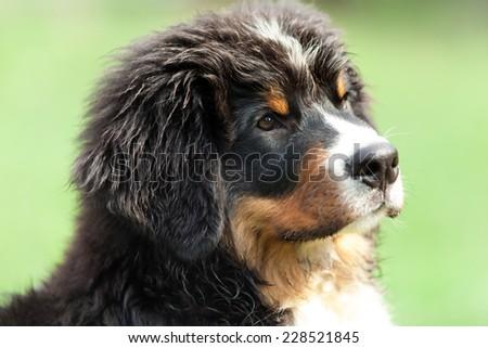 closeup of a Bernese mountain dog, outdoor - stock photo