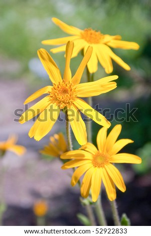 Closeup of a blooming arnica in a garden - outdoor shot - stock photo