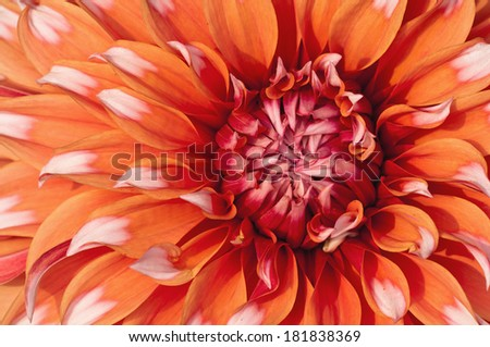 Closeup of a blooming multi-colored Dahlia flower  - stock photo
