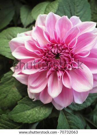 Closeup of a blooming pink chrysanthemum - stock photo
