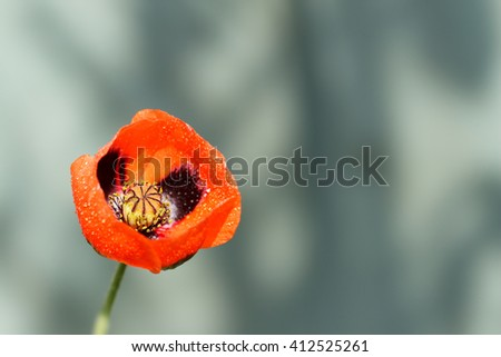 closeup of a blossoming red poppy with raindrops after rain on gray background - stock photo