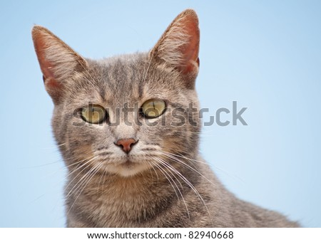 Closeup of a blue tabby cat looking at the viewer, with clear blue sky background - stock photo