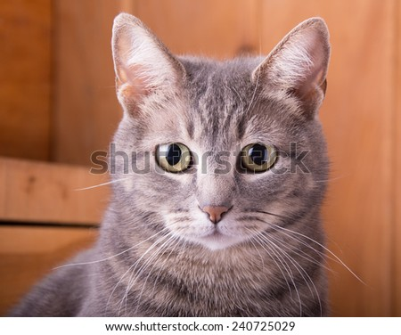 Closeup of a blue tabby cat, with a rustic wood background - stock photo