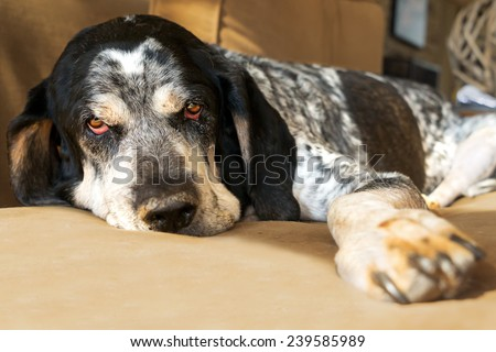 Closeup of a bluetick coonhound hunting dog relaxing on a couch looking sad tired worn out retired exhausted old aged comfortable - stock photo