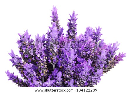 closeup of a bouquet of lavender flowers on a white background - stock photo