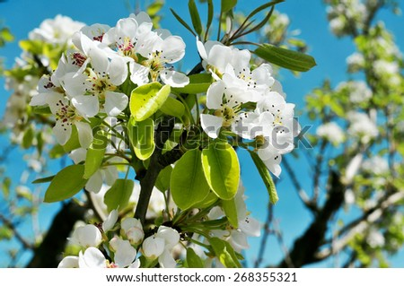 closeup of a branch of a cherry tree in full bloom over the blue sky - stock photo